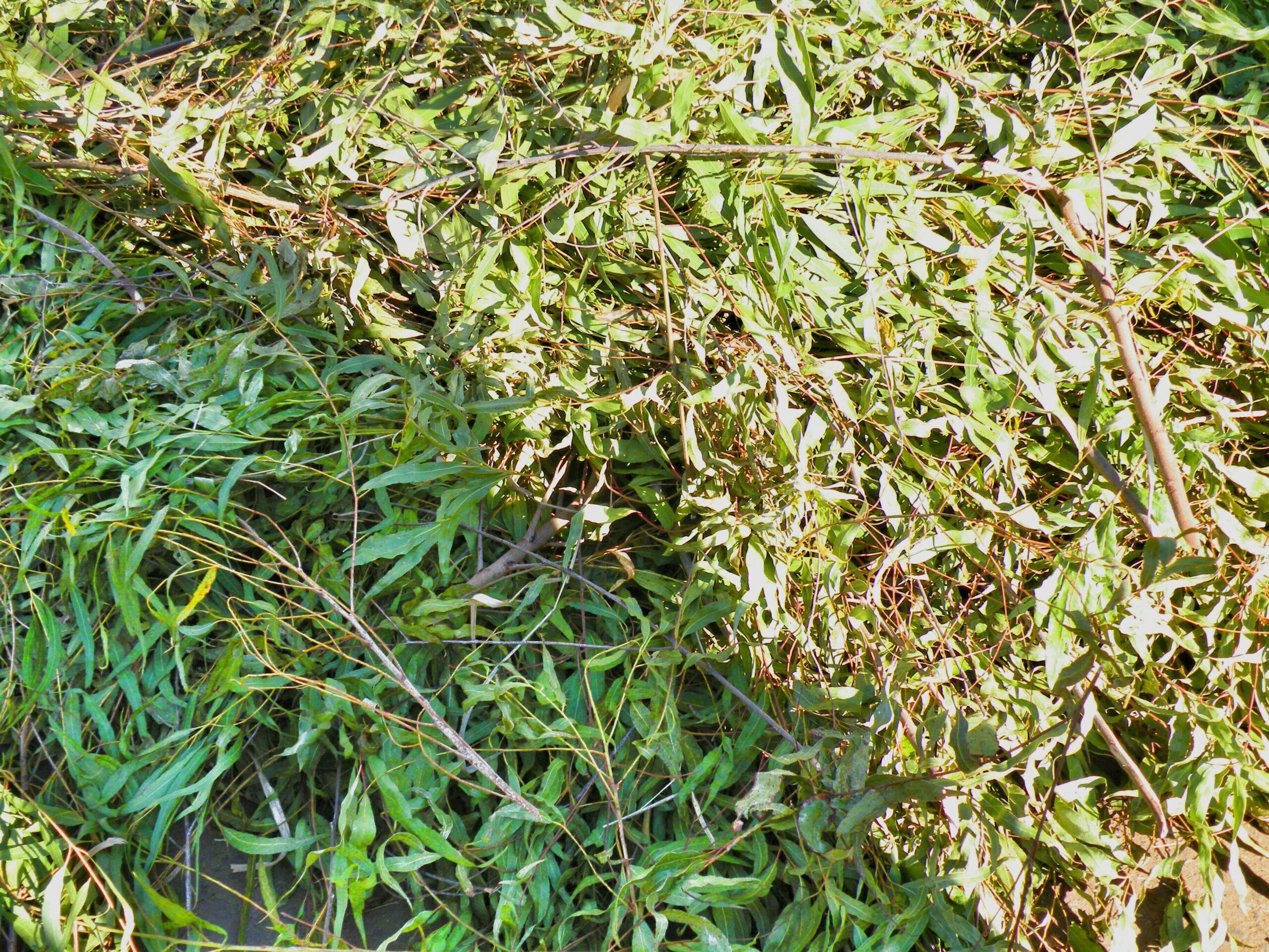 Harvested Eucalyptus Citriodora leaves