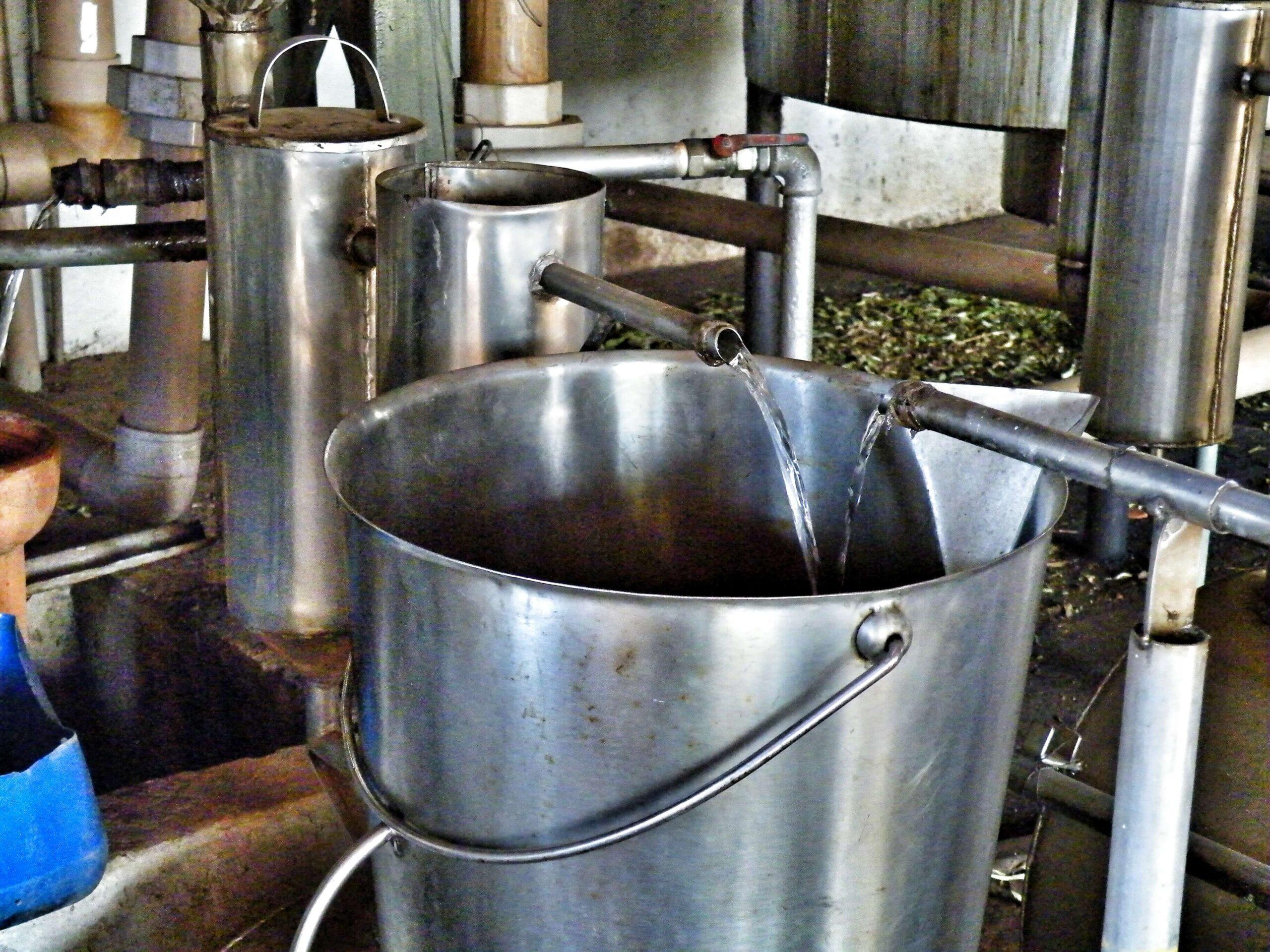 Distilling Oil of Lemon Eucalyptus