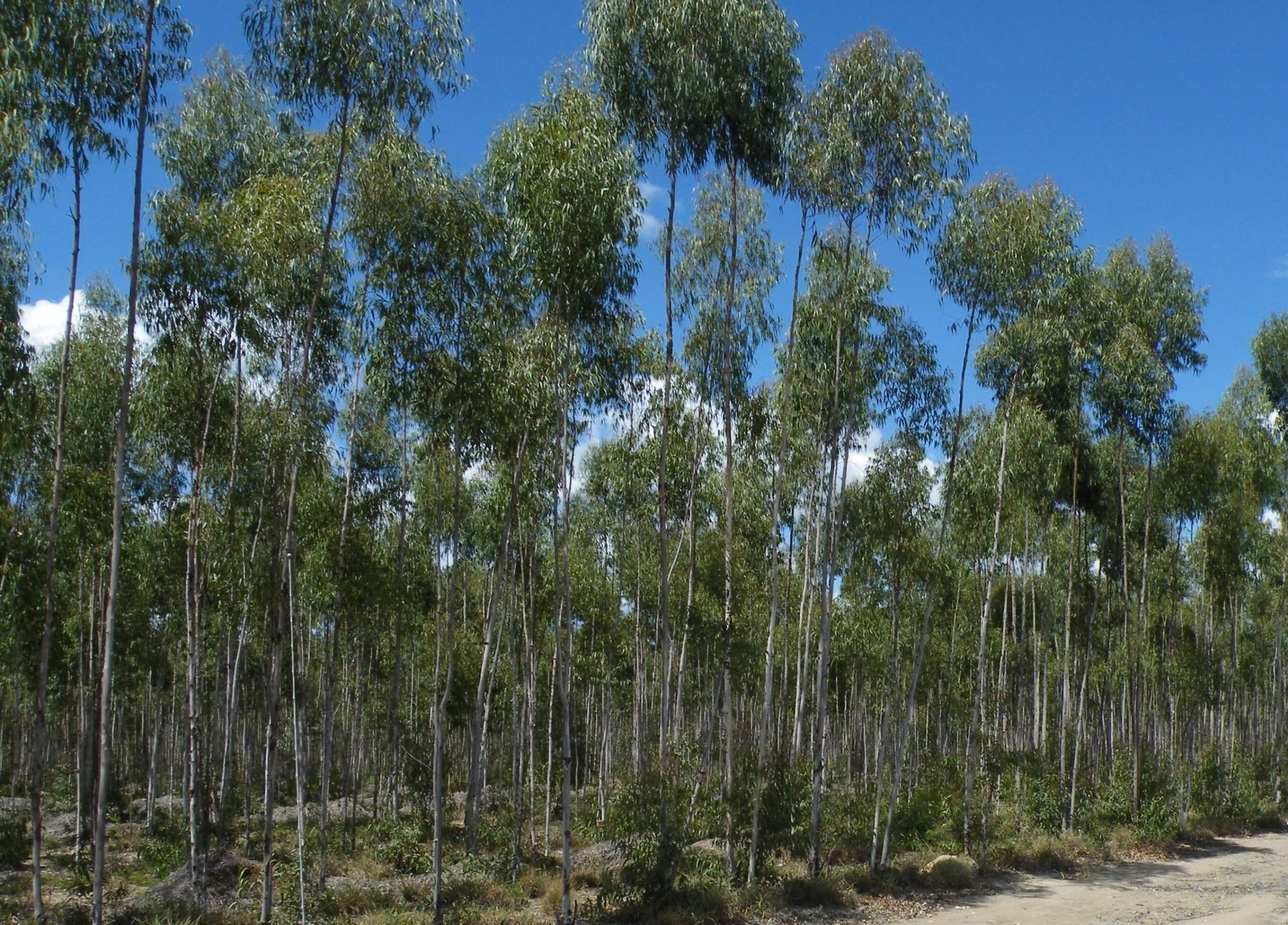 Growing Eucalyptus Citriodora Trees